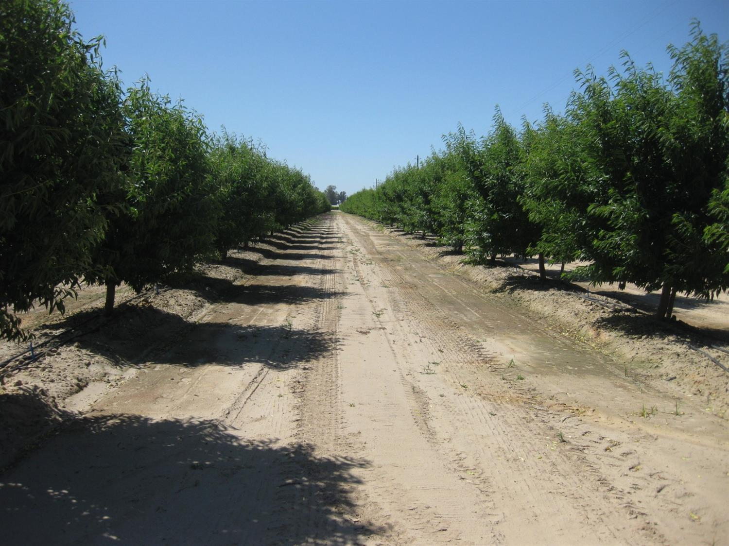 Almost 123 acres, 40 acres are Almonds Independance variety in the 4th leave.Trees were planted in Jan,2015 spacing 22'x16' and total 4800 trees. CID water is available but owner not using ditch water, irrigated by single drip line and micro yet. Trees were planted after fumigation was done, there is 40 HP submersible brand new pump set up at 150' and water level is approximately 60'  and 83 acres are Grapes (10 acres are Selma Pete and rest of those are Thompson ). Grapes are irrigated with the flood irrigation. There is 40 HP pump and ditch water is available. Farm is with Sun Maid coop membership which can be transfer to the new owner.This is good producing ranch with good soil and location.There are 3 Apn included in the sale ( 348-170-21,385-090-60S & 385-090-68S